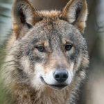 Nachrichten aus Deutschland: Direkt neben Wohnhaus: Video soll zeigen, wie zwei Wölfe einen Hirsch jagen