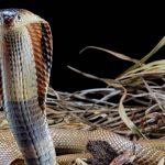 """Brasiliens berühmteste Kobra"": Student im Koma, Tierhändler aufgeflogen"