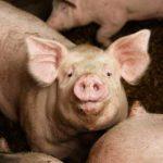 Schlachtbetrieb: Das Schweinesystem kommt an seine Grenzen