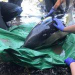 News von heute: Britische Tierschützer retten Delfin in fünfstündiger Aktion