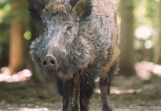 Fütterung von Wildschweinen für erfolgreiche Jagdausflüge